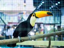 Ζωηρόχρωμος toucan κινηματογραφήσεων σε πρώτο πλάνο στον κλάδο δέντρων σε ένα κλουβί στοκ εικόνες