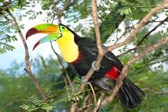 ζωηρόχρωμος toucan Στοκ εικόνα με δικαίωμα ελεύθερης χρήσης