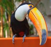 Ζωηρόχρωμος tucan στοκ εικόνες