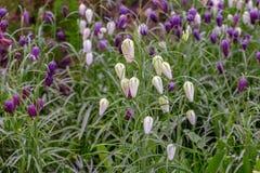 Ζωηρόχρωμο άνθισμα λουλουδιών του φιδιού \ «s επικεφαλής Fritillary (Fritillar στοκ φωτογραφία με δικαίωμα ελεύθερης χρήσης