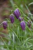 Ζωηρόχρωμο άνθισμα λουλουδιών του φιδιού \ «s επικεφαλής Fritillary (Fritillar στοκ φωτογραφίες