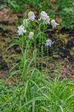 Ζωηρόχρωμο άνθισμα λουλουδιών του φιδιού \ «s επικεφαλής Fritillary (Fritillar στοκ εικόνες με δικαίωμα ελεύθερης χρήσης