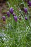 Ζωηρόχρωμο άνθισμα λουλουδιών του φιδιού \ «s επικεφαλής Fritillary (Fritillar στοκ φωτογραφία