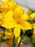 Ζωηρόχρωμο άνθισμα του daylily μέσα κήπου κοντά στη Μόσχα στοκ φωτογραφίες