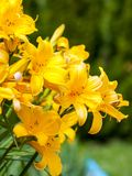 Ζωηρόχρωμο άνθισμα του daylily μέσα κήπου κοντά στη Μόσχα στοκ εικόνα με δικαίωμα ελεύθερης χρήσης