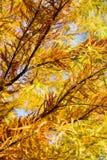 Ζωηρόχρωμο δέντρο κυπαρισσιών φθινοπώρου φαλακρό Στοκ Εικόνες