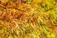 Ζωηρόχρωμο δέντρο κυπαρισσιών φθινοπώρου φαλακρό Στοκ Φωτογραφία