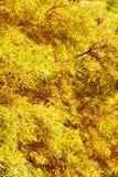 Ζωηρόχρωμο δέντρο κυπαρισσιών φθινοπώρου φαλακρό Στοκ Φωτογραφίες