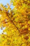 Ζωηρόχρωμο δέντρο κυπαρισσιών φθινοπώρου φαλακρό Στοκ εικόνα με δικαίωμα ελεύθερης χρήσης