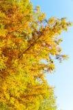 Ζωηρόχρωμο δέντρο κυπαρισσιών φθινοπώρου φαλακρό Στοκ εικόνες με δικαίωμα ελεύθερης χρήσης