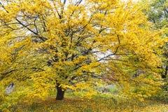 ζωηρόχρωμο δέντρο φθινοπώρου Στοκ Εικόνα