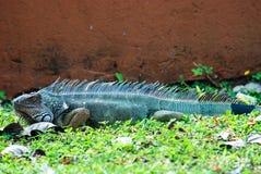 Ζωηρόχρωμο έδαφος Iguana Στοκ Εικόνα