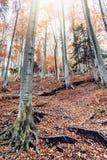 Ζωηρόχρωμο δάσος φθινοπώρου με τα ψηλά δέντρα, ακτίνες ήλιων Στοκ εικόνες με δικαίωμα ελεύθερης χρήσης
