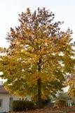 Ζωηρόχρωμο δέντρο σφενδάμνου το φθινόπωρο Στοκ Εικόνα