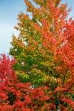 ζωηρόχρωμο δέντρο φύλλων φθινοπώρου Στοκ εικόνες με δικαίωμα ελεύθερης χρήσης
