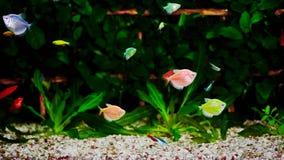 Ζωηρόχρωμο ενυδρείο, όμορφα ψάρια που κολυμπά στο νερό φιλμ μικρού μήκους