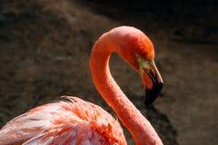 Ζωηρόχρωμο εξωτικό τροπικό ζωικό σκοτεινό υπόβαθρο πορτρέτου πουλιών φλαμίγκο στοκ φωτογραφία με δικαίωμα ελεύθερης χρήσης