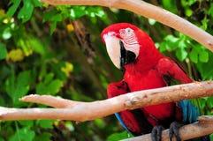 Ζωηρόχρωμο ερυθρό macaw, Ara Μακάο Στοκ εικόνες με δικαίωμα ελεύθερης χρήσης
