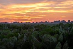 Ζωηρόχρωμο ηλιοβασίλεμα πέρα από έναν τομέα λάχανων στην Ολλανδία στοκ φωτογραφίες