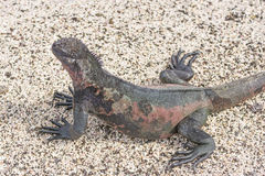 Ζωηρόχρωμο θαλάσσιο Iguana στην παραλία Στοκ φωτογραφίες με δικαίωμα ελεύθερης χρήσης