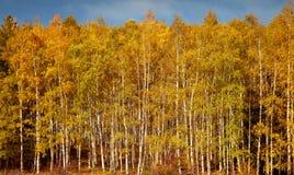 Ζωηρόχρωμο και δονούμενο δάσος δέντρων σημύδων, φθινόπωρο Στοκ Φωτογραφίες