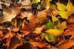 Ζωηρόχρωμο και φωτεινό υπόβαθρο φιαγμένο από πεσμένα φύλλα φθινοπώρου Στοκ Εικόνες