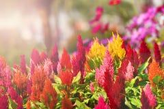 Ζωηρόχρωμο καλοκαίρι λουλουδιών Celosia Στοκ Φωτογραφία