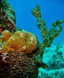 Ζωηρόχρωμο κοράλλι στο SAN Andres, Κολομβία Στοκ Εικόνα