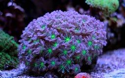 Ζωηρόχρωμο κοράλλι Acropora SPS στη δεξαμενή ενυδρείων σκοπέλων Στοκ Φωτογραφίες