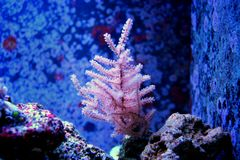 Ζωηρόχρωμο κοράλλι Acropora SPS στη δεξαμενή ενυδρείων σκοπέλων Στοκ φωτογραφίες με δικαίωμα ελεύθερης χρήσης