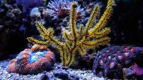 Ζωηρόχρωμο κοράλλι Acropora SPS στη δεξαμενή ενυδρείων σκοπέλων Στοκ φωτογραφία με δικαίωμα ελεύθερης χρήσης