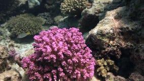 Ζωηρόχρωμο κοράλλι στο αμμώδες κατώτατο σημείο βαθιά υποβρύχιο στη Ερυθρά Θάλασσα φιλμ μικρού μήκους