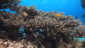 Ζωηρόχρωμο κοράλλι στο αμμώδες κατώτατο σημείο βαθιά υποβρύχιο στη Ερυθρά Θάλασσα απόθεμα βίντεο