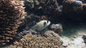 Ζωηρόχρωμο κοράλλι Boxfish στο αμμώδες κατώτατο σημείο βαθιά υποβρύχιο στη Ερυθρά Θάλασσα απόθεμα βίντεο