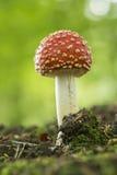 Ζωηρόχρωμο κόκκινο/άσπρο μανιτάρι αγαρικών μυγών στο δάσος το φθινόπωρο στις Κάτω Χώρες στοκ εικόνες