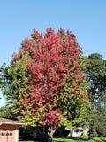 Ζωηρόχρωμο κόκκινο και πράσινο δέντρο πτώσης στοκ εικόνα με δικαίωμα ελεύθερης χρήσης