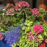 Ζωηρόχρωμο λαμπρά και το ζωηρή καλοκαίρι ή η άνοιξη άνθισης ανθίζει στα flowerbeds της πόλης Όμορφος εποχιακός floral στοκ εικόνα με δικαίωμα ελεύθερης χρήσης