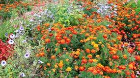 Ζωηρόχρωμο λουλούδι ανθίσματος και Marigold στοκ φωτογραφία
