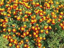 ζωηρόχρωμο λουλούδι αν&alpha Στοκ Εικόνα