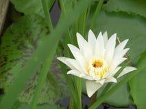 ζωηρόχρωμο λουλούδι λωτού που ανθίζει μετά από την πτώση βροχής το πρωί wa Στοκ φωτογραφίες με δικαίωμα ελεύθερης χρήσης