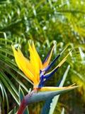 Ζωηρόχρωμο λουλούδι πουλιών του παραδείσου Στοκ εικόνες με δικαίωμα ελεύθερης χρήσης