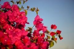Ζωηρόχρωμο μακρο υπόβαθρο λουλουδιών με το μπλε ουρανό Ήπια ρόδινα λουλούδια κλείστε επάνω Υπόβαθρο λουλουδιών με ένα διάστημα αν Στοκ εικόνες με δικαίωμα ελεύθερης χρήσης