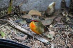 Ζωηρόχρωμο μικροσκοπικό πράσινο και κίτρινο finch στοκ φωτογραφία με δικαίωμα ελεύθερης χρήσης
