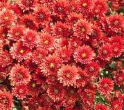 ζωηρόχρωμο λουλούδι αν&alpha Στοκ εικόνα με δικαίωμα ελεύθερης χρήσης