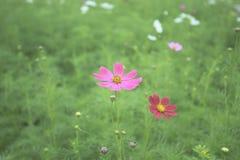 Ζωηρόχρωμο λουλούδι κόσμου που ανθίζει στο φυσικό πράσινο τομέα θαμπάδων στοκ εικόνες