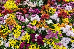 ζωηρόχρωμο λουλούδι χρ&upsilo Στοκ φωτογραφίες με δικαίωμα ελεύθερης χρήσης