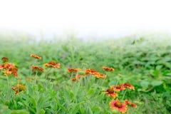 Ζωηρόχρωμο λουλούδι Gaillardia Στοκ εικόνες με δικαίωμα ελεύθερης χρήσης