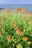 Ζωηρόχρωμο λουλούδι Gaillardia Στοκ φωτογραφίες με δικαίωμα ελεύθερης χρήσης