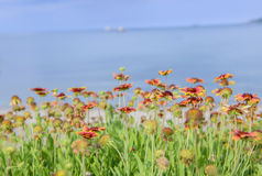 Ζωηρόχρωμο λουλούδι Gaillardia Στοκ Εικόνα