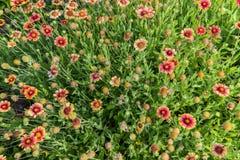 Ζωηρόχρωμο λουλούδι Gaillardia Στοκ Εικόνες